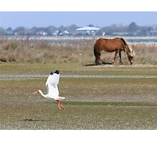 American white ibis takes flight near a wild mustang on Shackleford Banks, North Carolina Photographic Print