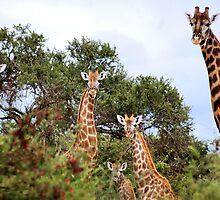 THE  FAMILY GATHERING  - GIRAFFE – Giraffa camelopardalis by Magaret Meintjes