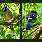 Blue Jay  by Glenna Walker