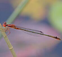 Enallagma concisum (Cherry Bluet) by Jim Johnson