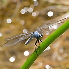 Erythemis collocata (Western Pondhawk) by Jim Johnson