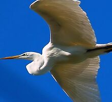 Great White Egret Soaring high above by kellimays
