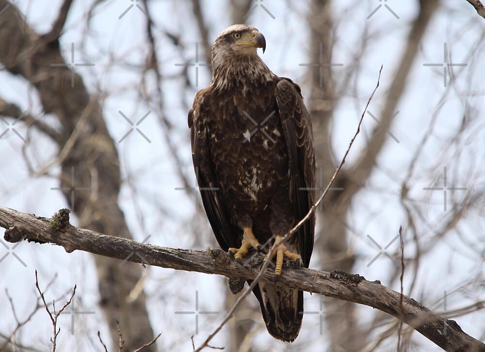 Immature American Bald Eagle by Vickie Emms