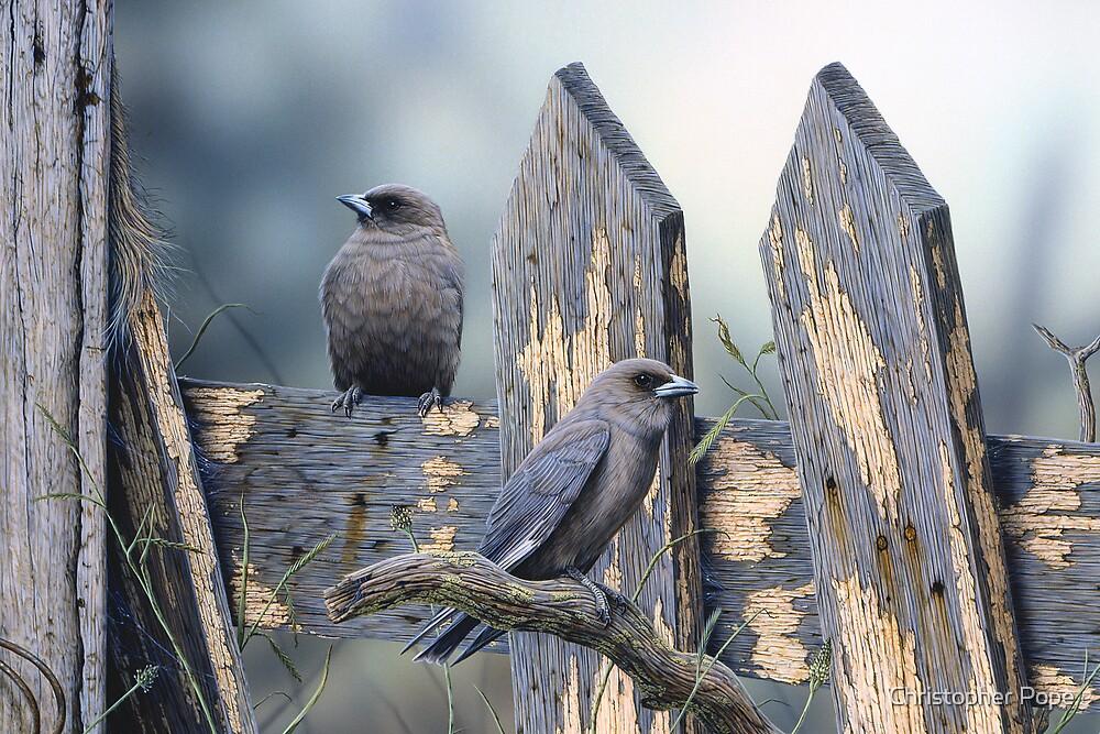 Australian Duskywood Swallows by Christopher Pope