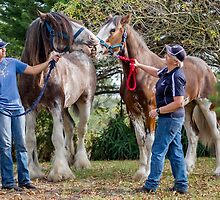 Clydesdales 07 by Yanni