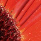 Red Gerbera Detail by Michael Fotheringham Portraits