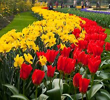 Tulip Curve by tdako