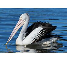 Beauty in motion = The Pelican Photographic Print
