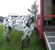 Appaloosa .. Posing by LoneAngel