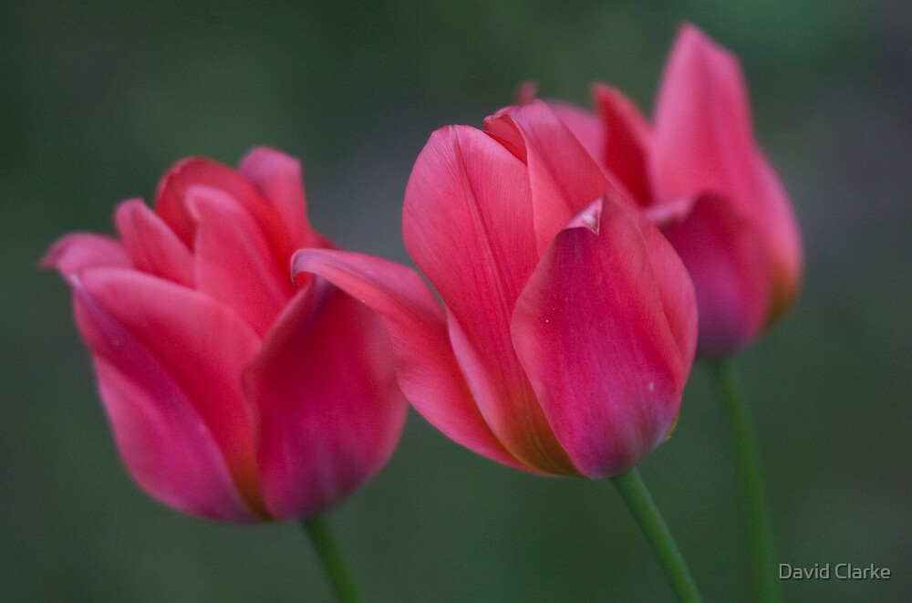 Dwarf Tulips by David Clarke