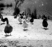 Ducks at Wentworth Falls Lake by JennyMac