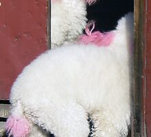Two poodles in a hutong in Beijing by bfokke