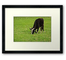 Holstein Cow Grazing Framed Print