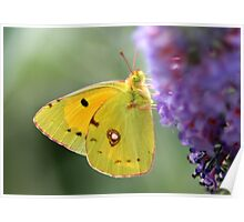 Clouded Yellow Poster