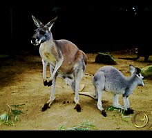 Kangaroos by Calliope-Oz
