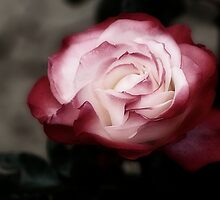 Rose by shadycat