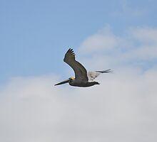 Pelican by Karl F Davis