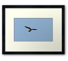 Hunting Kestrel Framed Print