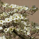 Dogwood tree blossoms! by Ruth Lambert