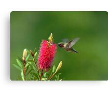 Hummingbird on Bottlebrush Canvas Print