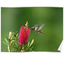 Hummingbird on Bottlebrush Poster