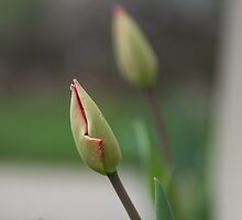 About to blossom tulips by Jibin Abraham Punnoose