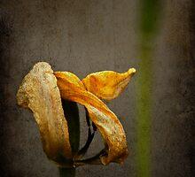 Overblown tulips by Barbara  Corvino