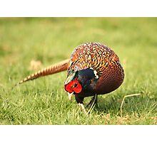 Wild Pheasant Photographic Print