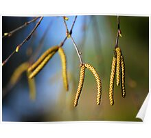 Male River Birch Catkins Poster