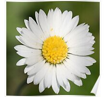 Closeup of a Beautiful Yellow and Wild White Daisy flower Poster