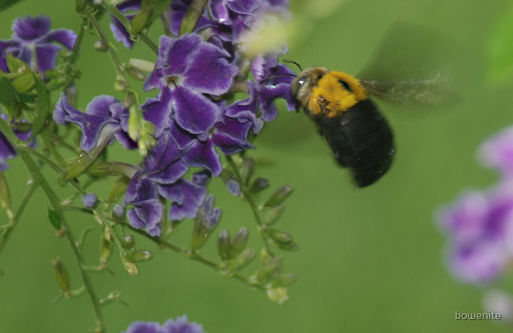 """""""Bumble Bee in Flight"""" by bowenite"""