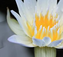 White Water Lily Aglow by jenndes