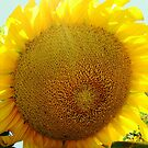 Sunflower series II (Sun)...! by sendao