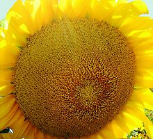 Sunflower series II (Sun)...! by sendao