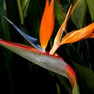 Bird of Paradise by Rosalie Scanlon