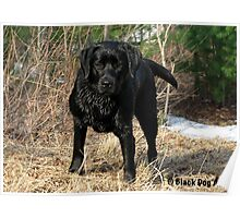 Early Spring Hunt - Black Labrador Poster
