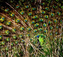 Prettiest Tail Feathers on the Farm by Chuck Gardner