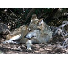 Mexican Wolf Photographic Print
