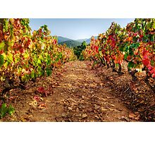 Colorful vineyard Photographic Print