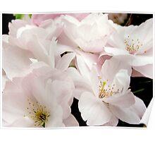 Cherry Blossom #2 Poster