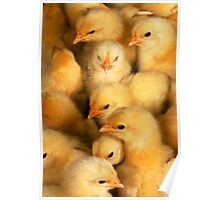 Clutch of Yellow Fluffy Chicks Poster