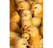 Clutch of Yellow Fluffy Chicks Photographic Print