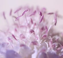 Scabiosa Softness by Jenni77