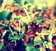 Hellebore by annette andtwodogs