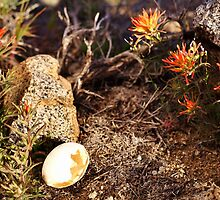 Indian Paintbrush Hawk egg by SB  Sullivan