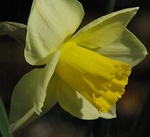 In My Garden Daffodil 2008 by THanson