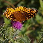 Butterfly on thistle by bcollie