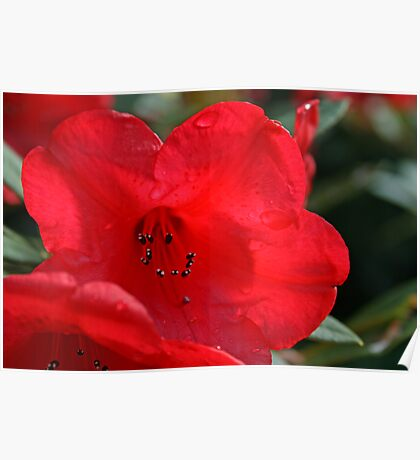 Red rhododendron Poster