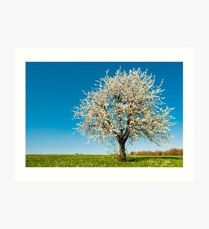 cherry tree in spring Art Print