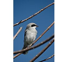 Northern Shrike Photographic Print